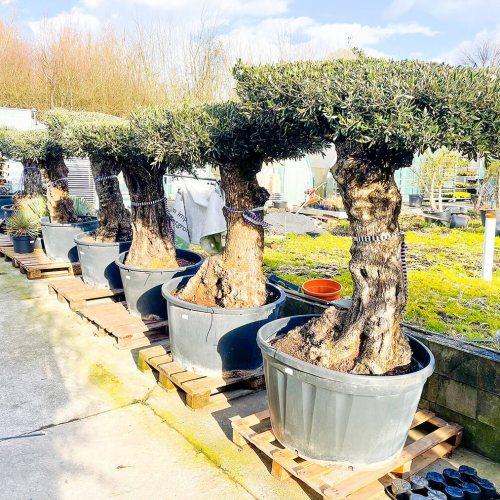 olijfboom-mesa-80-100cm-2