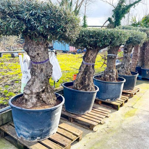 olijfboom-mesa-80-100cm-4