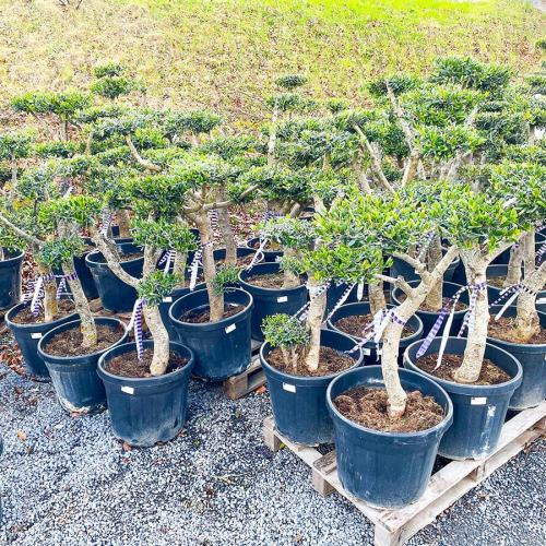 olijfboom-pom-pom-100cm-2