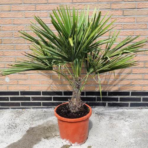 Palmbomen | Trachycarpus fortunei