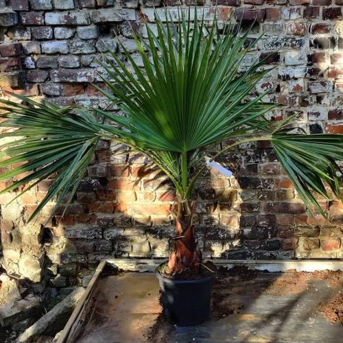 Palmbomen | Washigntonia robusta