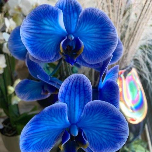 Orchideeën-10