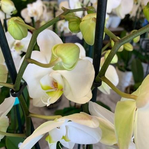 Orchideeën-3