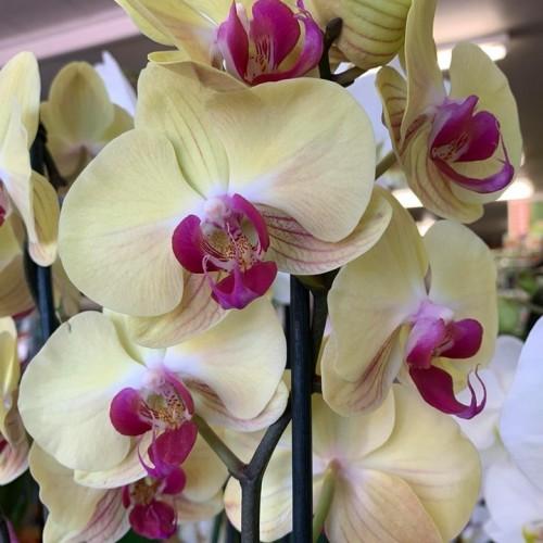 Orchideeën-7
