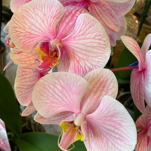 Orchideeën-9