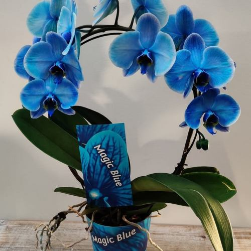 orchidee-20-blauw