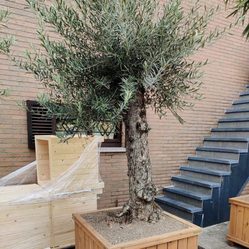 bak-hout-olijfboom
