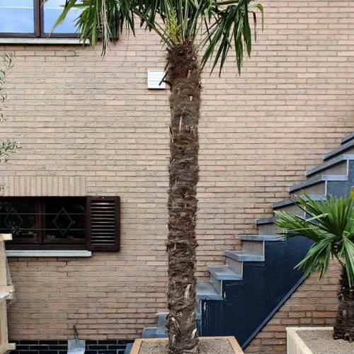 bak-hout-palmboom-groot
