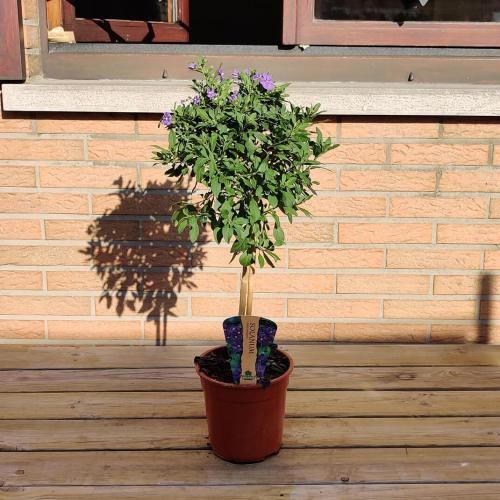 Solanum op stam   Paars