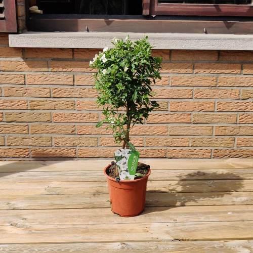 Solanum op stam   Wit
