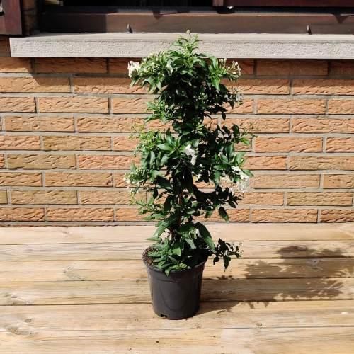 Solanum | Wit