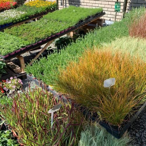 Siergrassen, lavendel, cuphea & gypsophila