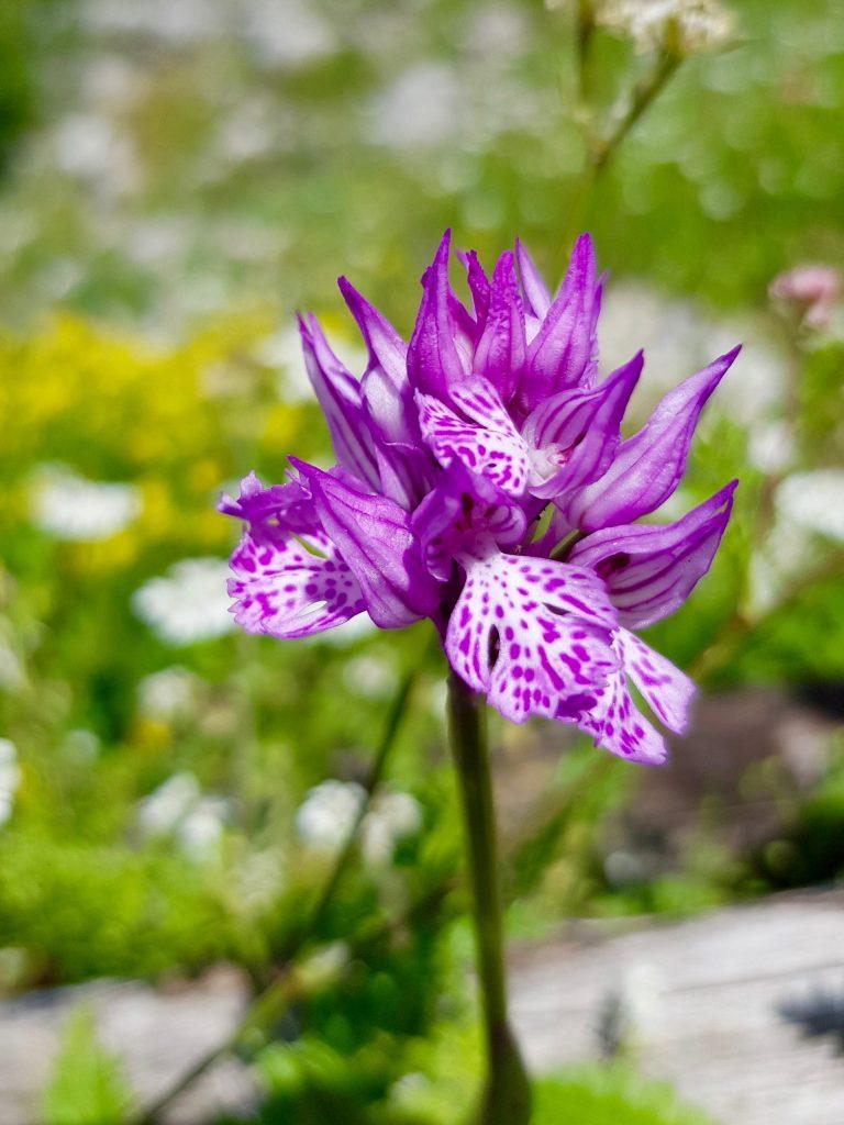 Sorrento vandretur - Orkide monti lattari