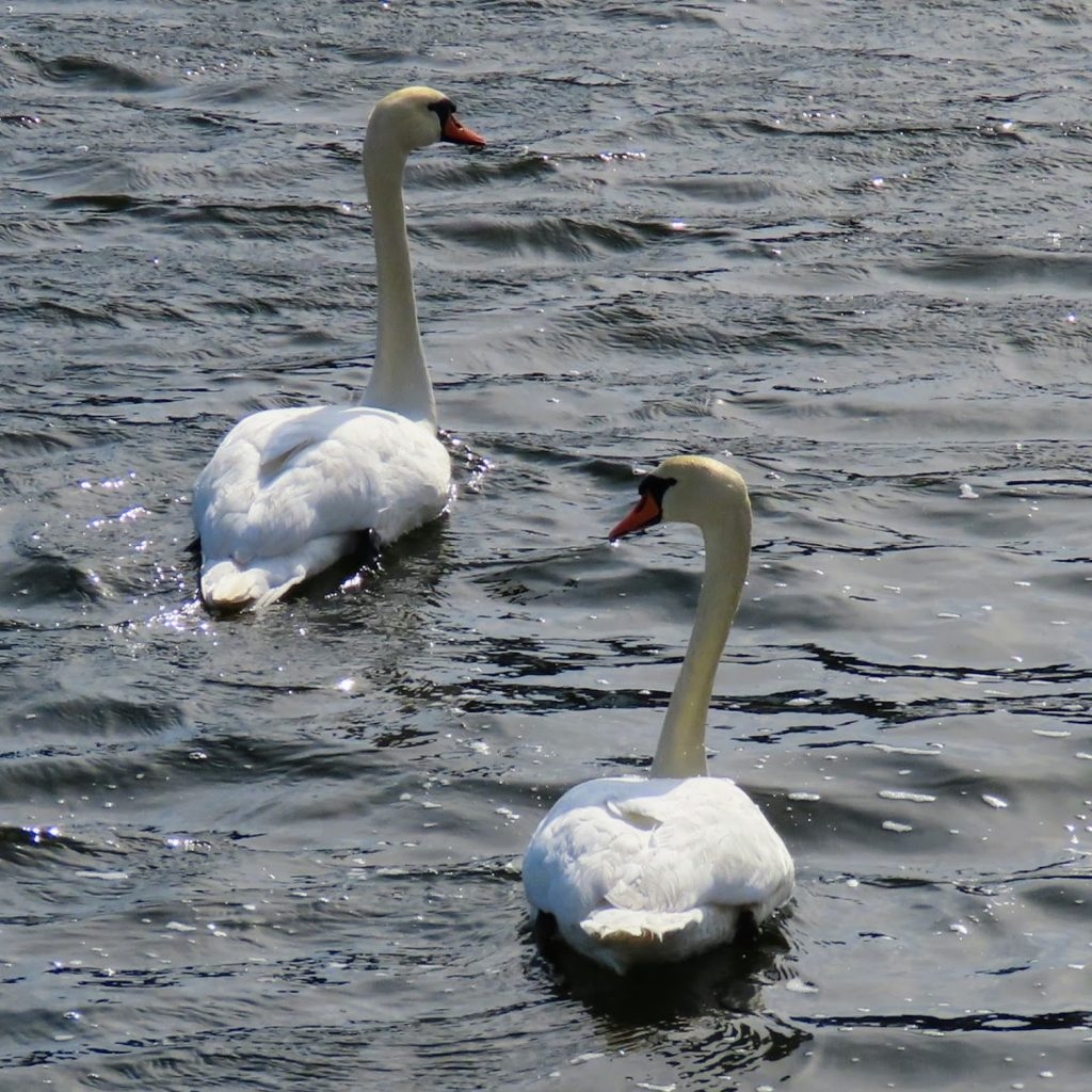 Odense Kanal - svaner