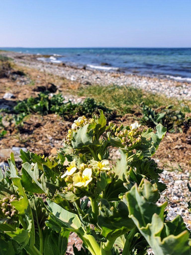 Vandretur på Helnæs - strandkål