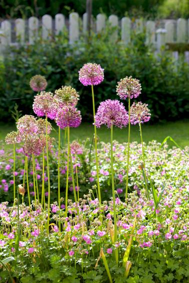 Allium och näva