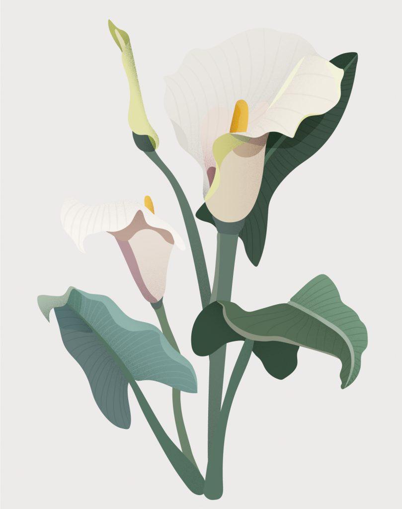 Calla lilje botanisk illustrasjon plante blomster