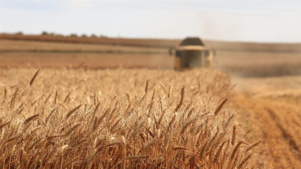 En åker med korn og en skurtresker uklart i bakgrunnen av bildet.
