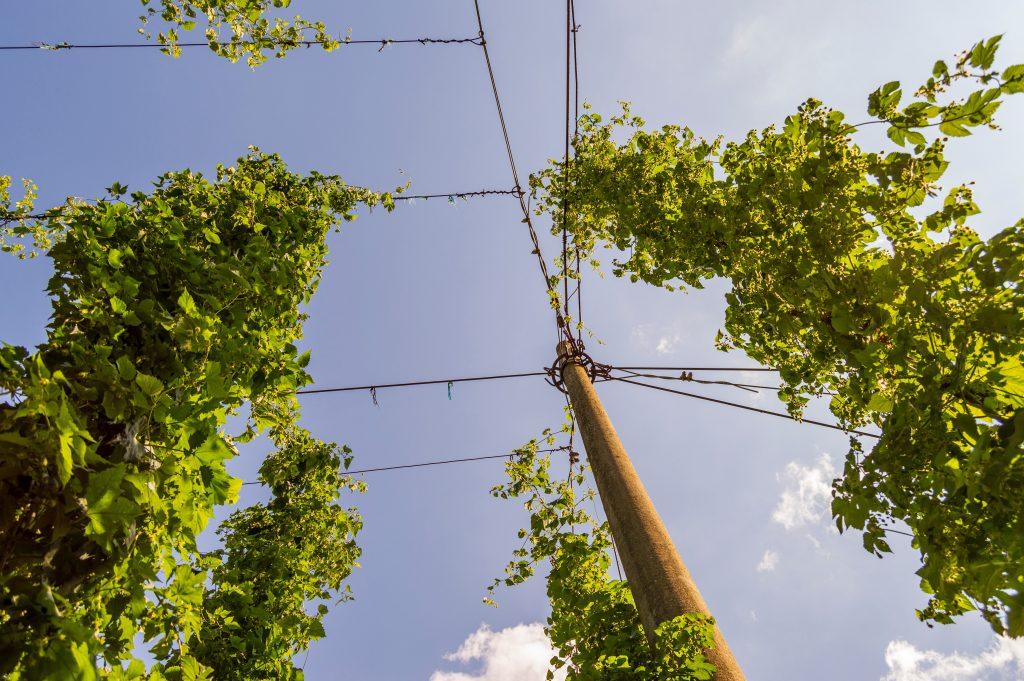 Bilde av humleplanten tatt nedenfra og opp. Slyngplanten strekker seg høyt og er grønn og frisk i fargen.