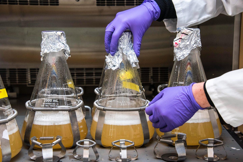 Et laboratorium med tre erlenmeyerkolber med øl og gjær. Vi ser også to hender med plasthansker som analyserer dem.