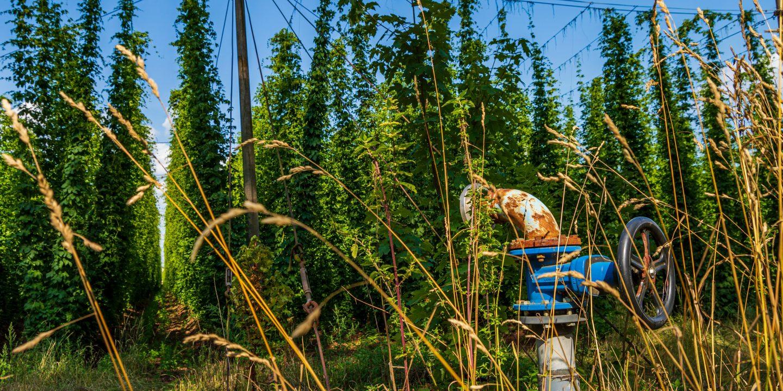 Bilde av en humlefarm med høye slyngplantene humle og en maskin foran.