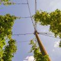 Bilde av humleplanter sett nedenfra. De strekker seg opp mot den blå himmelen.