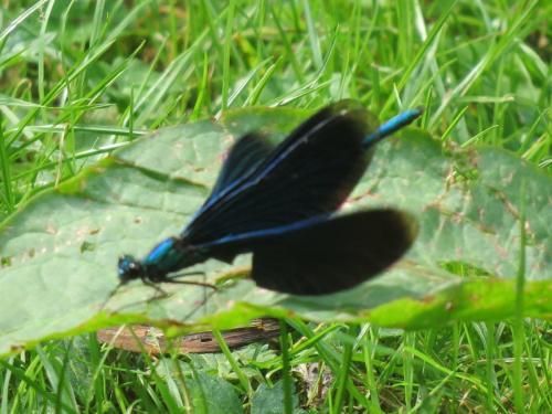 zwarte libelle
