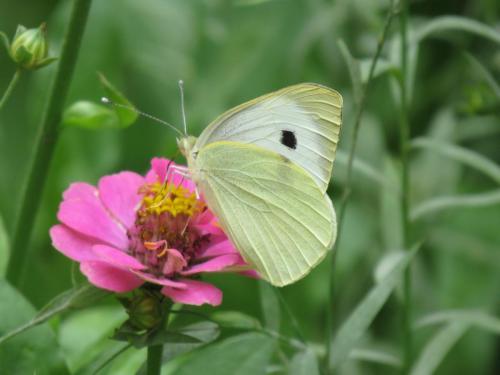 veel vlinders op de Olmuhle