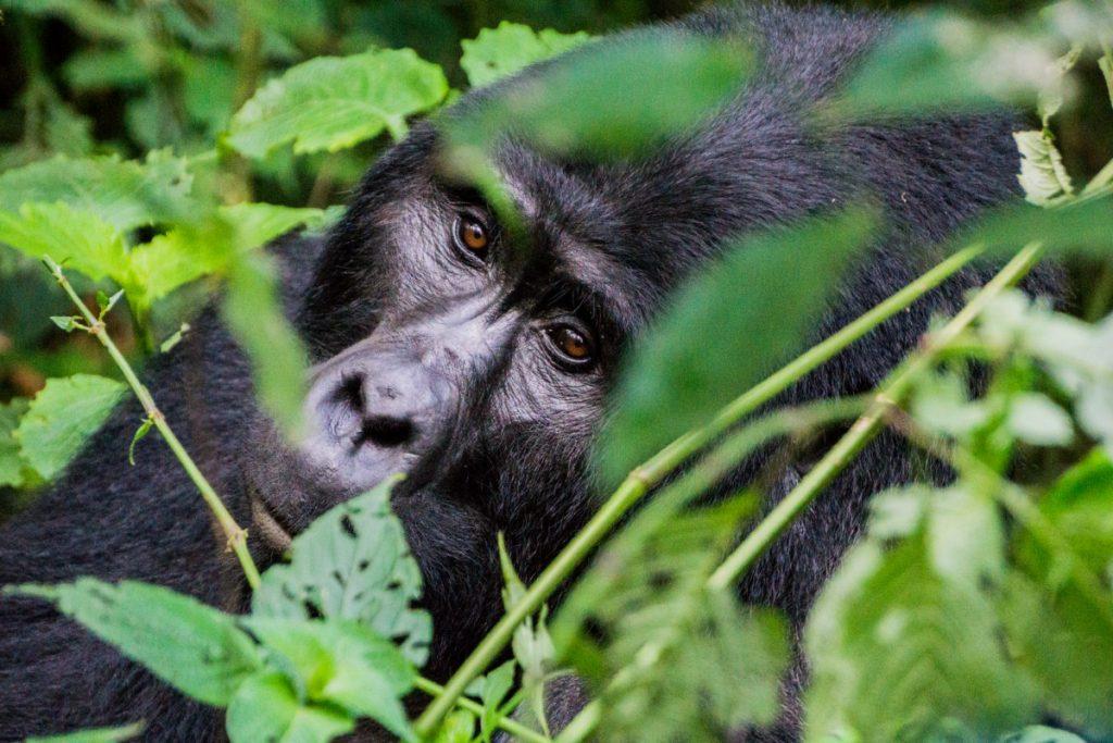 Silverback Groilla in Uganda