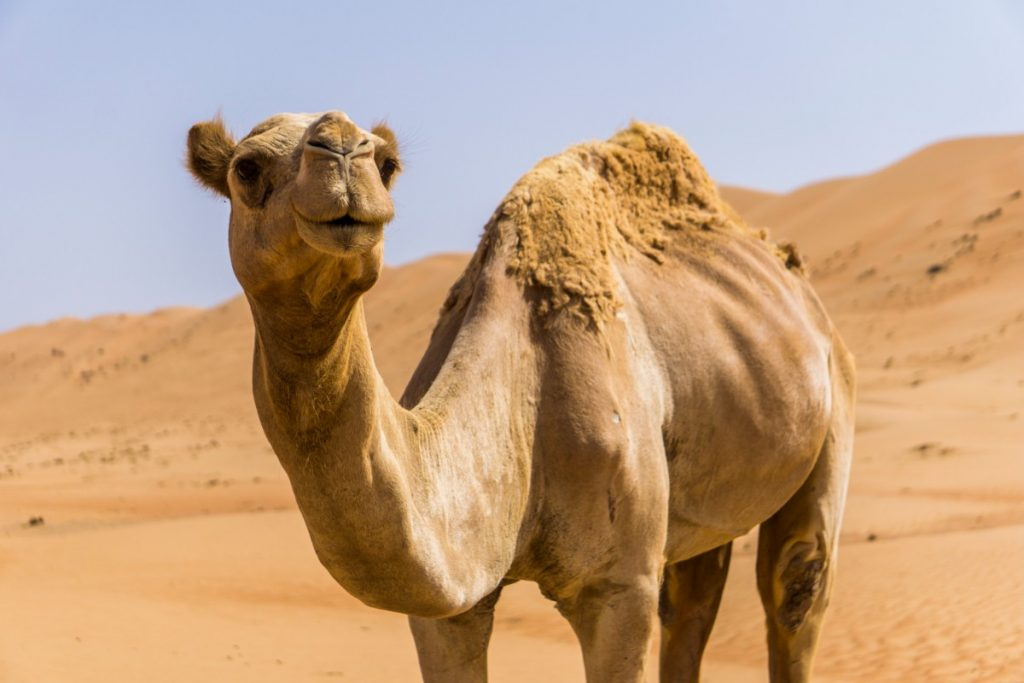 Dromedary in Oman - One Second