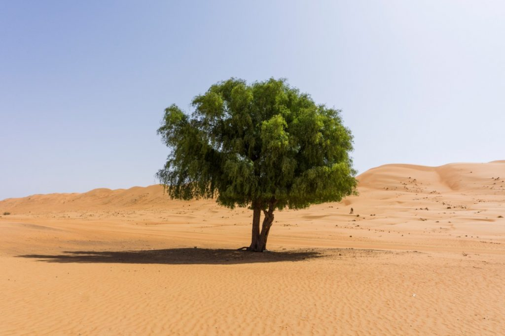 Tree in Wahiba Sands
