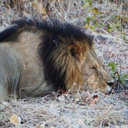 Sleeping Lion in Botswana
