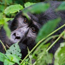 voyage-ecoresponsable-gorille