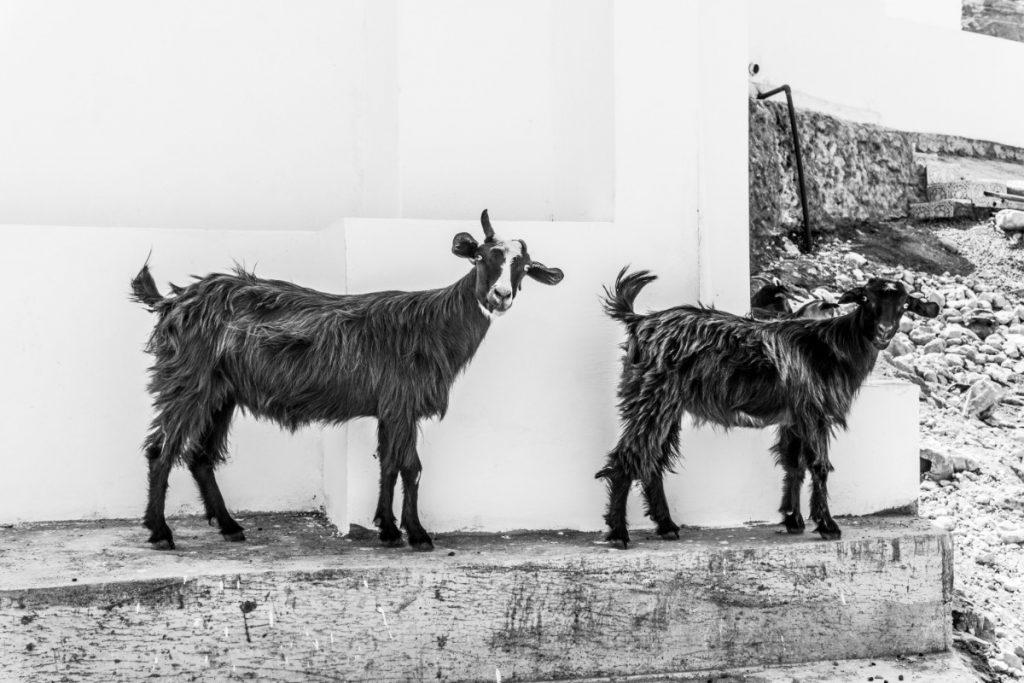 Un aperçu d'Oman - Terre des 1001 nuits-Chèvres à Oman