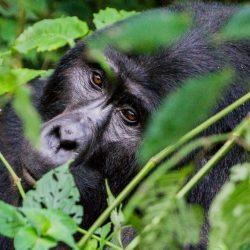 Close up of a silverback mountain gorilla in Uganda