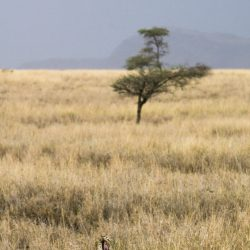 Elusive Leopard in Serengeti National Park Tanzania