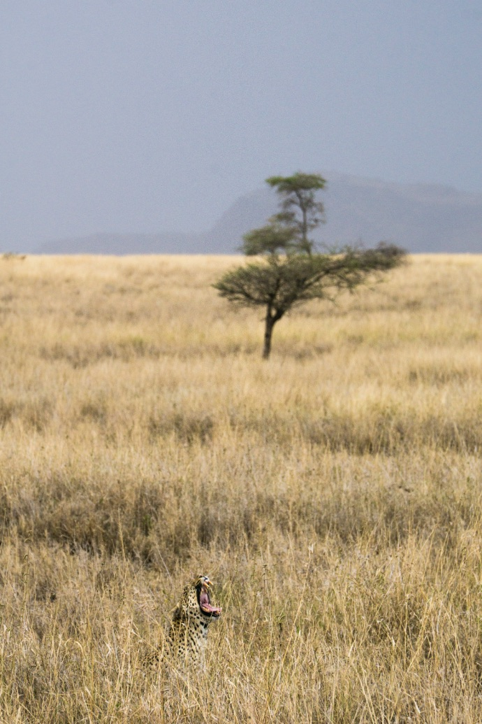 Elusive Leopard in Serengeti National Park Tanzania