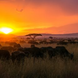 Sunset in Africa with buffalo herd