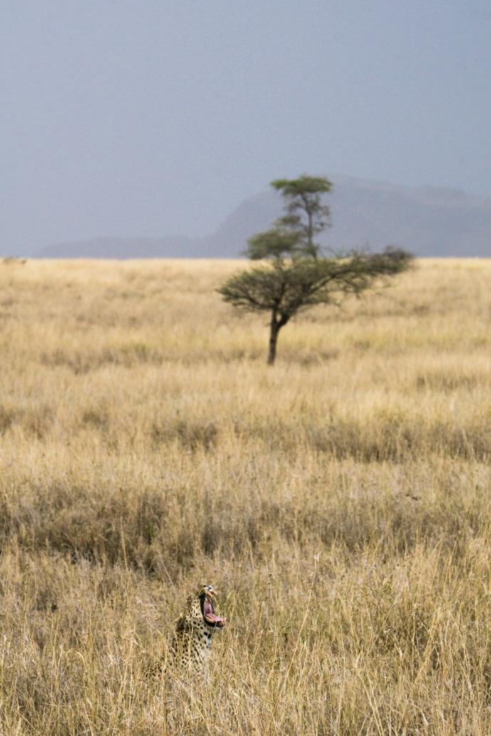 Brüllender Leopard in der Serengeti in Tansania