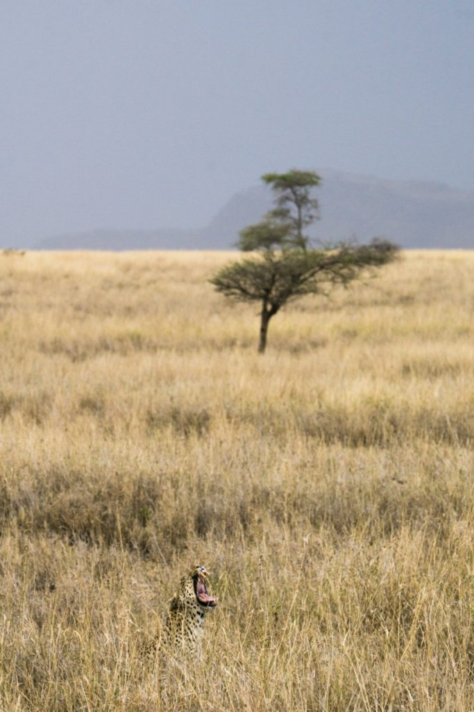 Elusive leopard in Serengeti