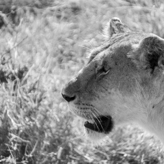 Majestueuse lionne dans la réserve nationale du Masai Mara au Kenya