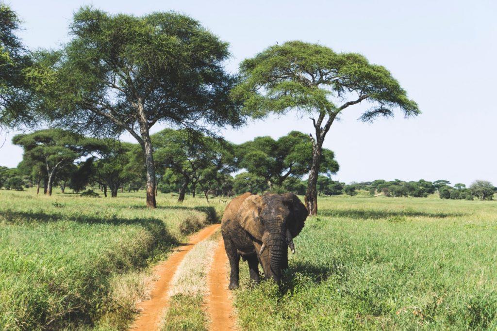 Face à face avec un éléphant mâle au parc national du Tarangire