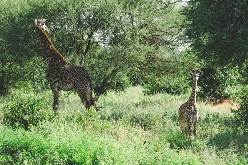 Rencontre avec une girafe et son petit au parc national du Tarangire