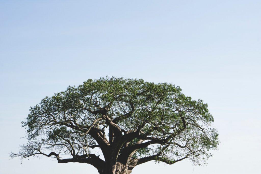 Cime d'un baobab au parc national du Tarangire
