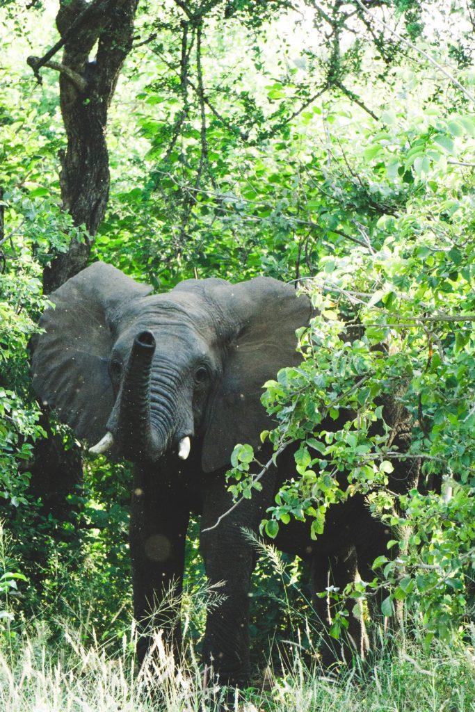 Rencontre avec un éléphant mâle (nous montrant qu'il nous a lui aussi remarqué) au parc national du Tarangire
