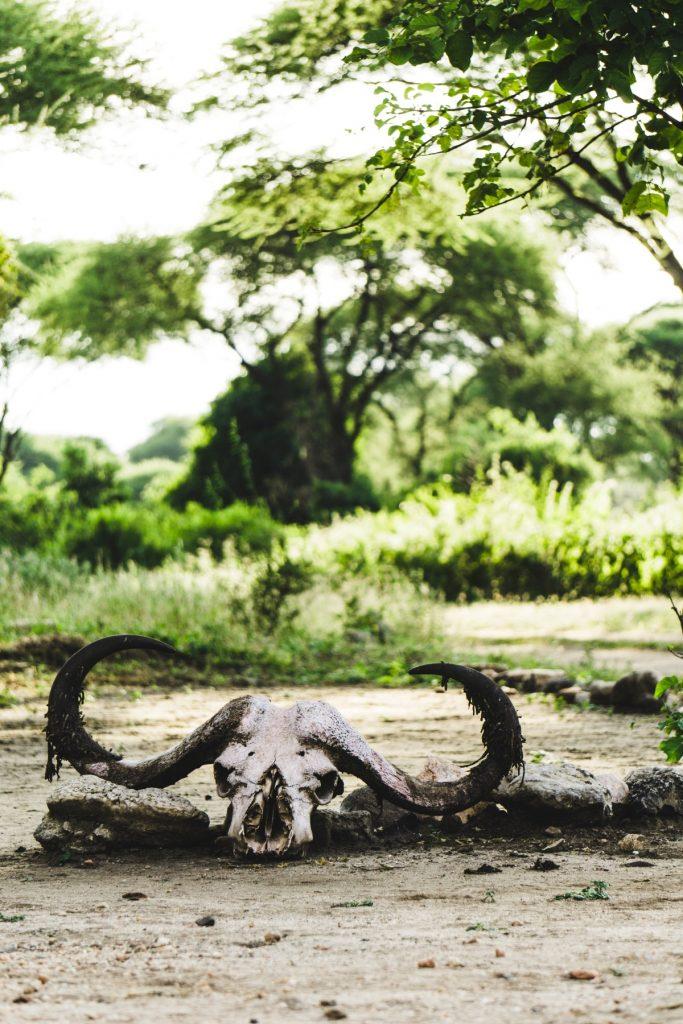 Crâne d'un buffle au parc national du Tarangire