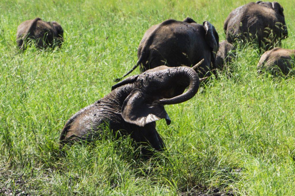 Toilette rafraichissante pour ce groupe d'éléphants au parc national du Tarangire