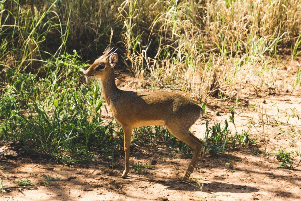 Rencontre avec un die-dik au parc national du Tarangire