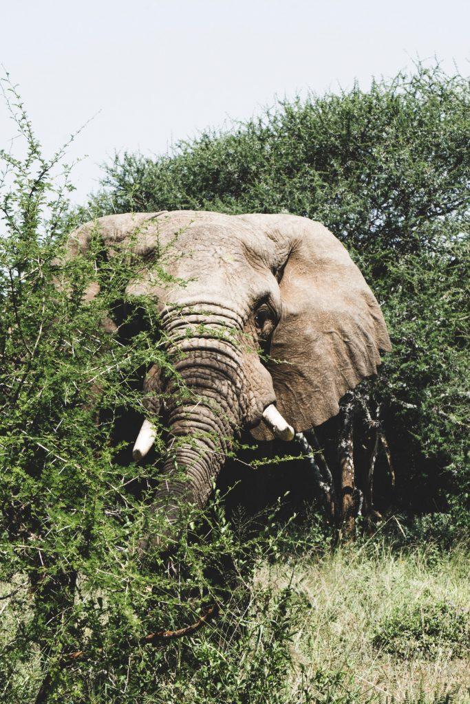 Rencontre avec un éléphant mâle au parc national du Tarangire