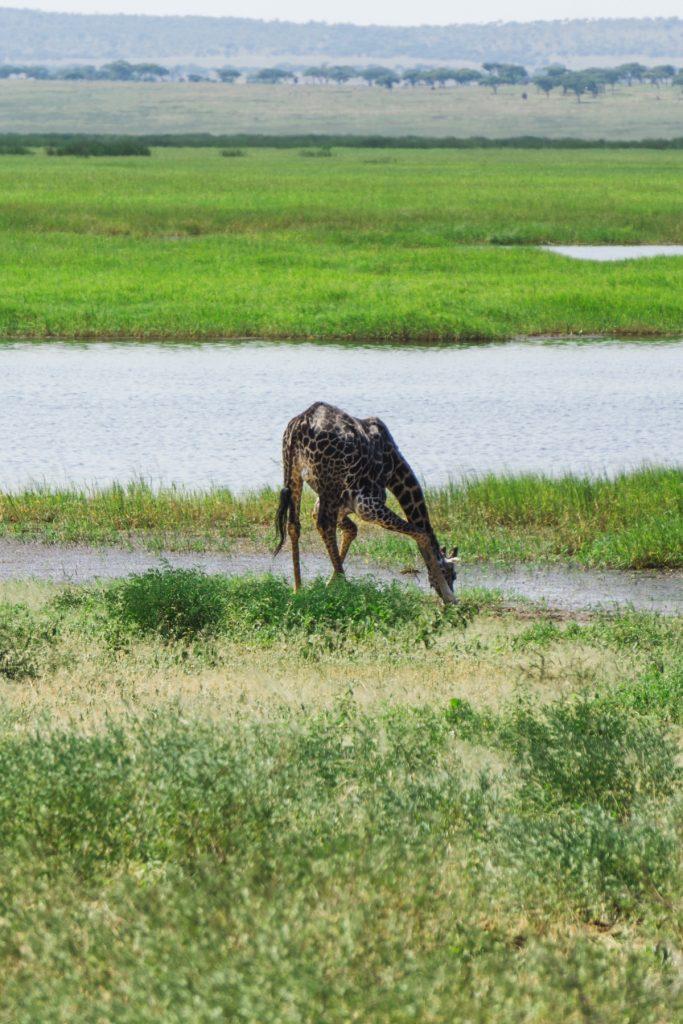 Girafe se désaltérant au parc national du Tarangire